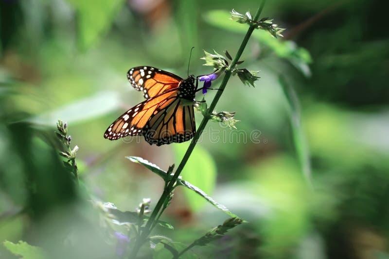 Mooie oranje monarchvlinder op een violette gevoelige bloem Het beeld van de de zomerlente stock afbeeldingen
