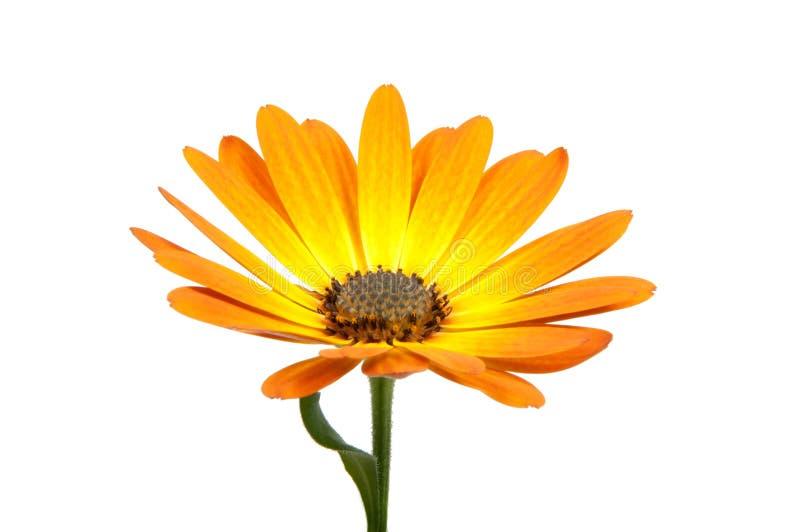 mooie oranje osteospermum of Afrikaanse geïsoleerde madeliefjebloem royalty-vrije stock afbeelding