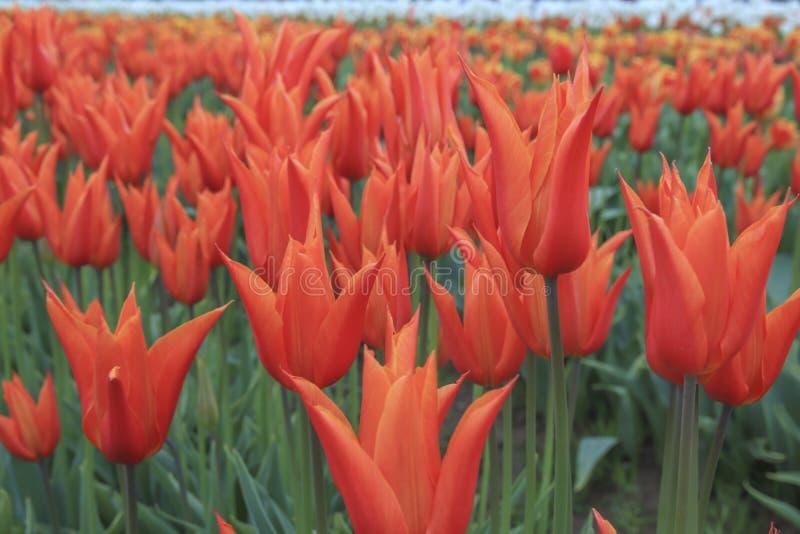 Mooie oranje tulp royalty-vrije stock foto's
