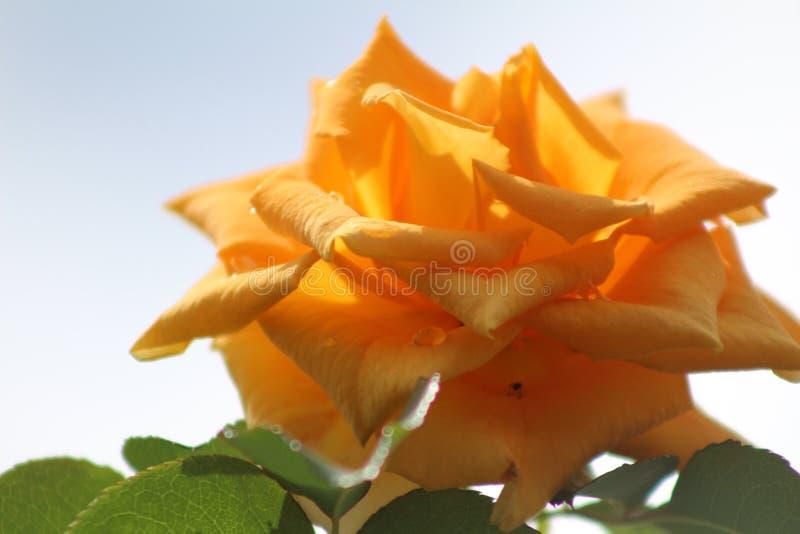 Mooie oranjegeel nam bloem onder de middagzon toe stock fotografie