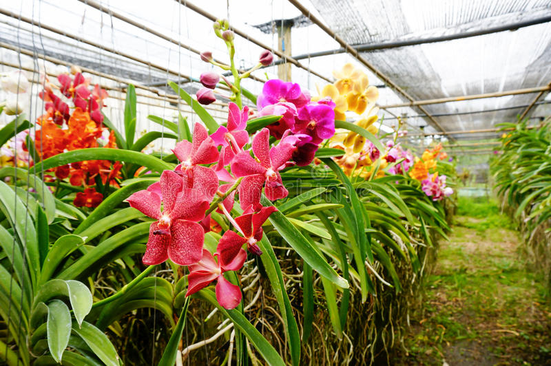 Mooie orchideeën in landbouwbedrijf royalty-vrije stock afbeelding