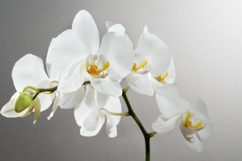 Mooie orchidee stock fotografie