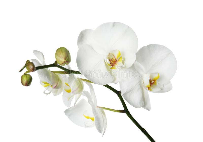 Mooie orchideebloem op witte achtergrond stock foto's