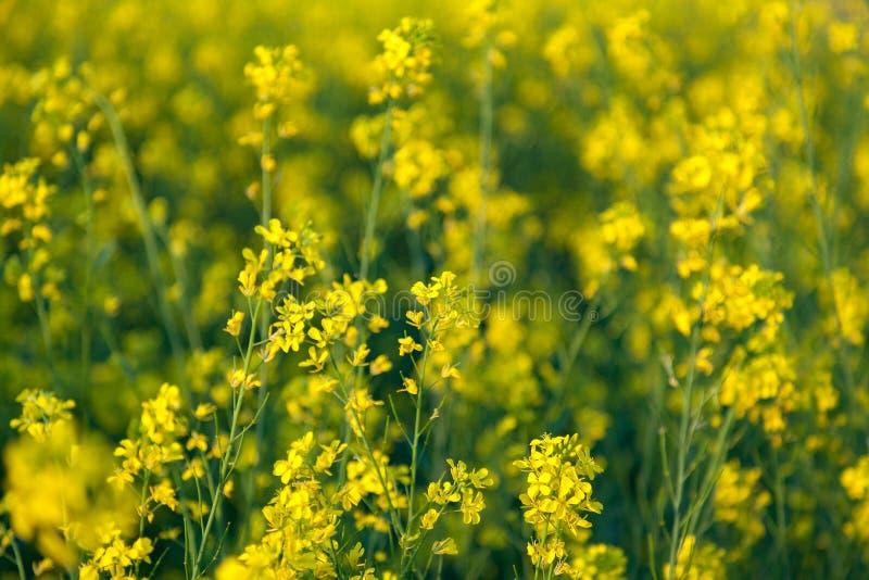Mooie Organische Gele Mosterdbloemen op gebied, royalty-vrije stock foto