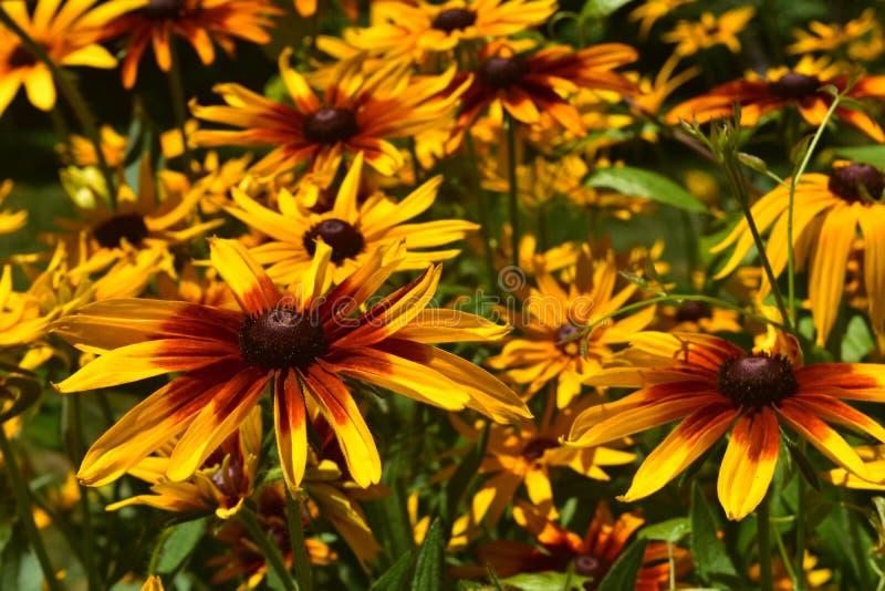 Mooie Overvloed van Zwarte Eyed Susan Flowers royalty-vrije stock fotografie