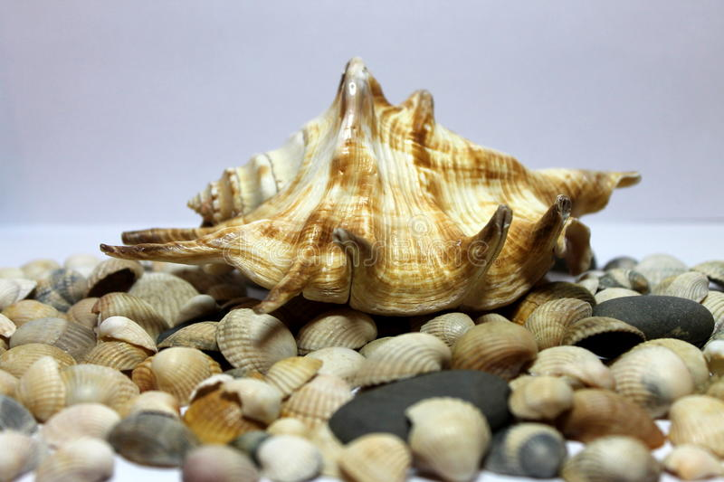 Mooie Overzees Shell stock foto