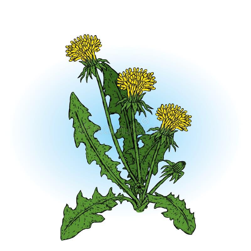 Mooie paardebloemen Vector illustratie Installaties en bloemen vector illustratie