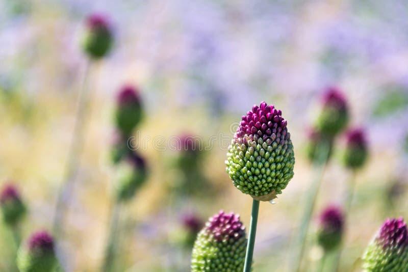 Mooie paarse groene bloeiende, ronde knoflookbloem, allium sphaerocephalon op een wazige zomerweide achtergrond stock afbeelding