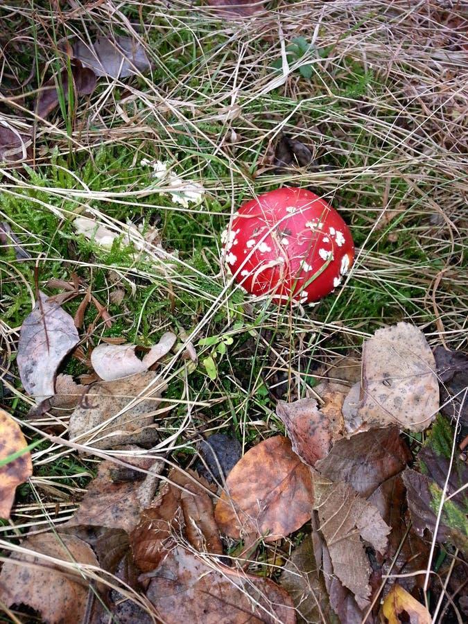Mooie paddestoel in het de herfstbos royalty-vrije stock foto