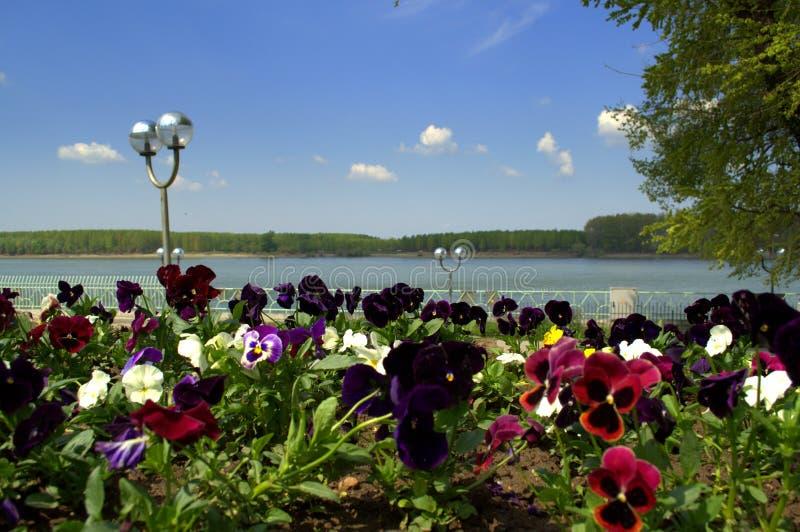 Mooie pansies bij de rivieroever van Donau stock afbeelding