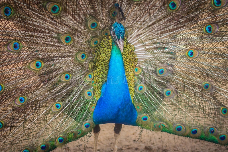 Mooie pauw die mooi gevederte tonen en staart-F uitspreiden royalty-vrije stock afbeeldingen