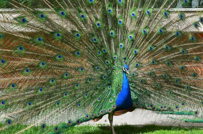 Mooie pauw het uitspreiden staart-veren royalty-vrije stock afbeeldingen