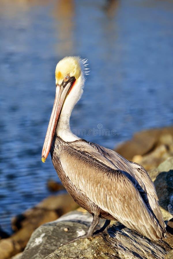 Mooie pelikaan stock afbeeldingen