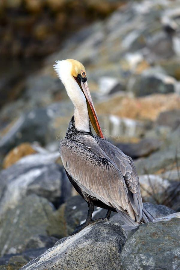 Mooie pelikaan royalty-vrije stock afbeelding