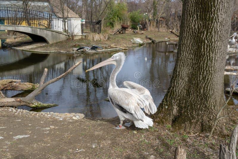Mooie pelikaan in de dierentuin van Wenen Shonbrunn oostenrijk royalty-vrije stock foto's