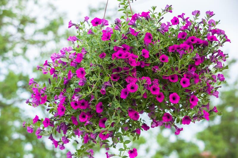 Mooie petuniabloem royalty-vrije stock foto's