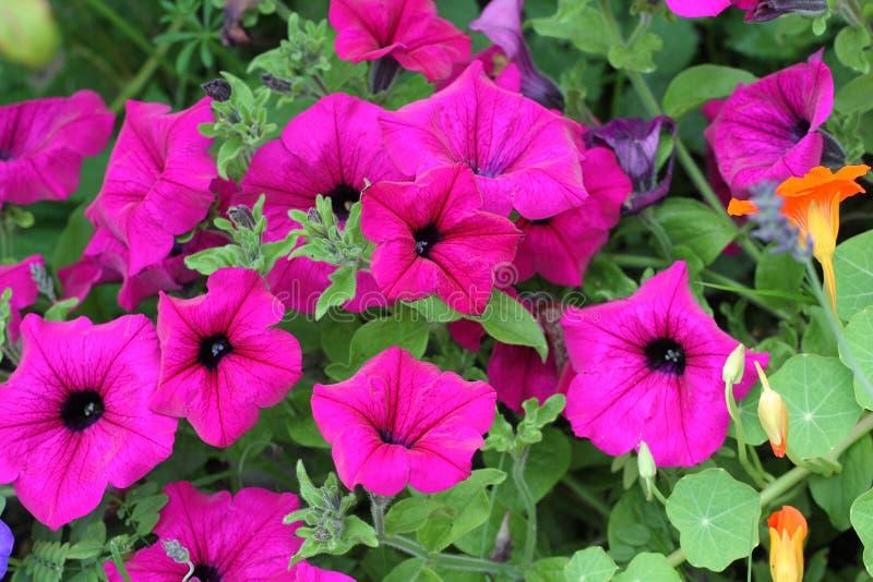 Mooie petuniabloemen royalty-vrije stock fotografie