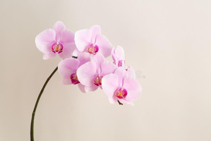 Mooie Phalaenopsis-orchideebloemen op beige achtergrond stock fotografie