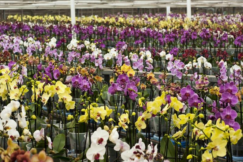 Mooie phalaenopsisorchideeën in volledige bloei royalty-vrije stock afbeelding