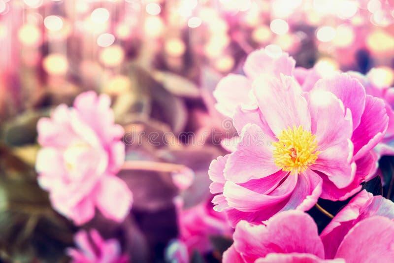 Mooie pioenenbloemen bij zonnige bokehaard stock fotografie