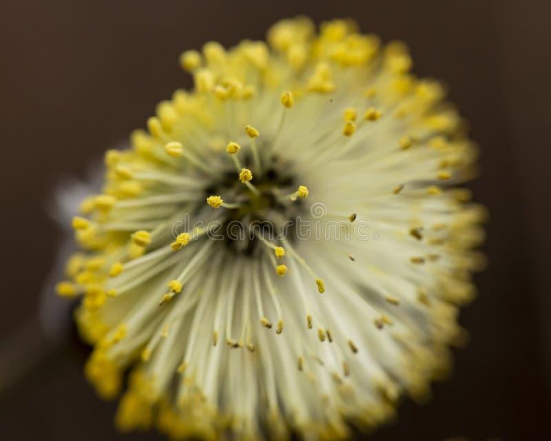 Mooie, pluizige gele nier van een caprea van Salix van de geitwilg met stuifmeel, op een schemerige voorzijde, op een warme de le royalty-vrije stock foto's