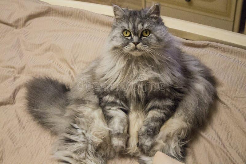 Mooie pluizige vette kat met hongerige het pleiten groene ogen stock foto