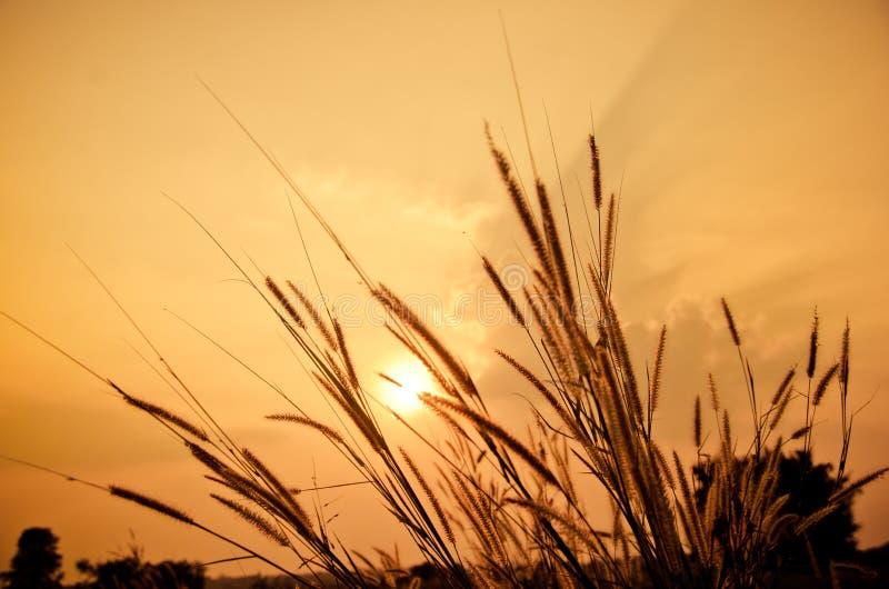Mooie poaceae, grassen in de weide op de zonsondergang royalty-vrije stock foto