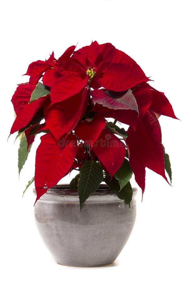 Mooie poinsettia (Wolfsmelkpulcherrima) bloem royalty-vrije stock foto's