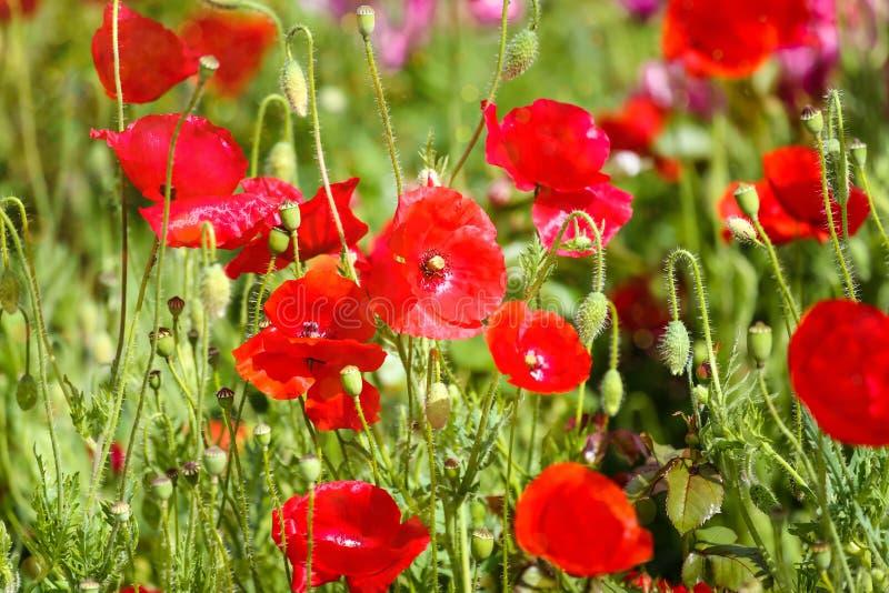 Mooie Poppy Flowers op een weide in het Zonlicht Aardpatroon en Achtergrond royalty-vrije stock fotografie