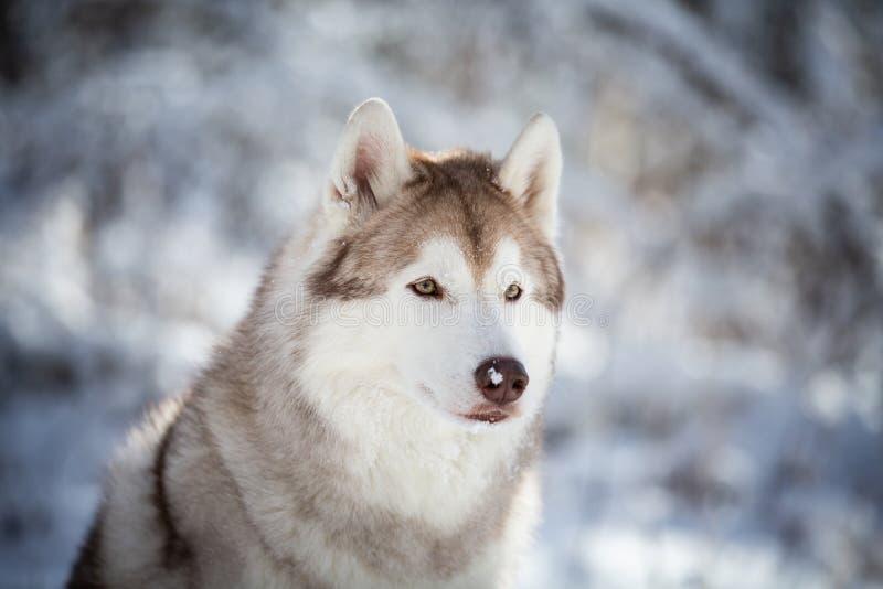 Mooie, prideful en vrije Siberische Schor hondzitting op de sneeuw in het feebos in de winter royalty-vrije stock foto's