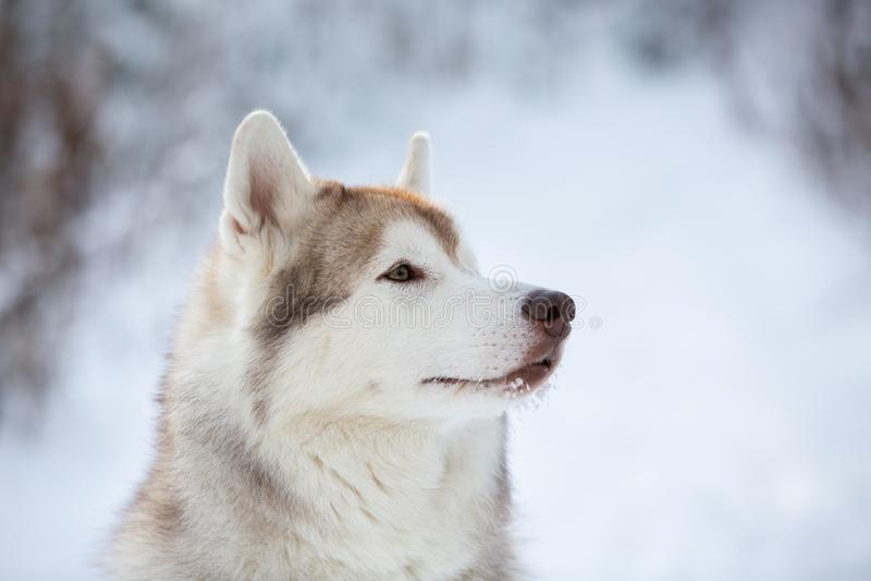 Mooie, prideful en vrije Siberische Schor hondzitting op de sneeuw in het feebos in de winter stock foto's