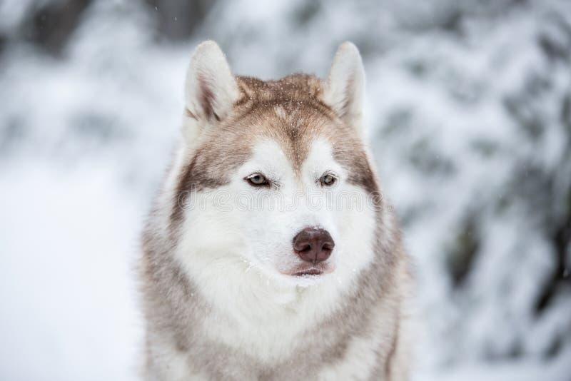 Mooie, prideful en vrije Siberische Schor hondzitting op de sneeuw voor spar in het de winterbos royalty-vrije stock foto's
