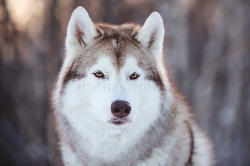 Mooie, prideful en vrije Siberische Schor hondzitting op de sneeuwweg in het bos van de feewinter bij zonsondergang stock foto's