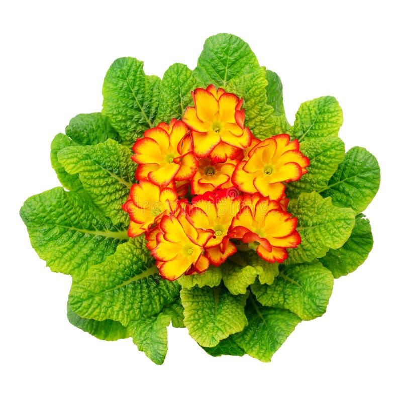 Mooie primula met groene die bladeren op witte achtergrond worden geïsoleerd royalty-vrije stock afbeelding