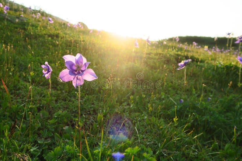 Mooie purpere aquilegiabloem in de stralen van de zon stock foto's