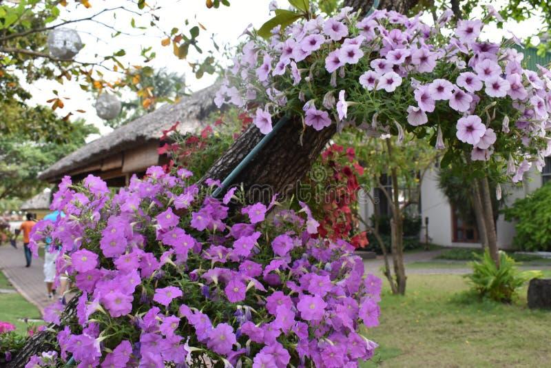 Mooie purpere bloemen die op een boom in een tuin in Vietnam hangen royalty-vrije stock afbeeldingen