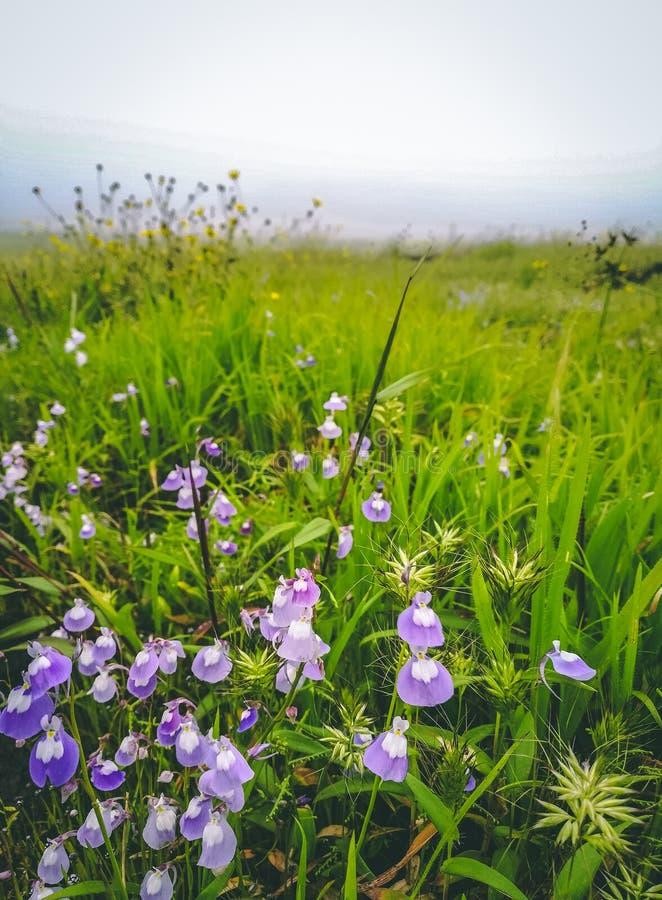 Mooie purpere bloemen in groen terrein bij lonavalahillstation royalty-vrije stock afbeelding