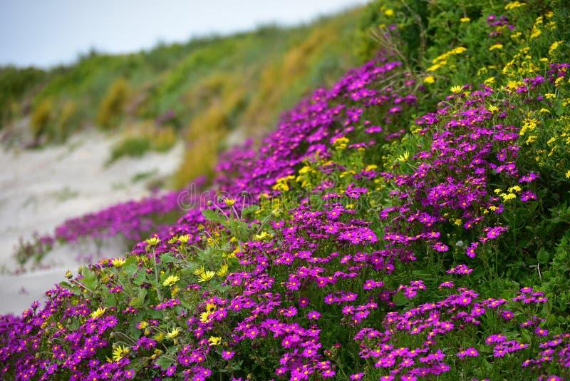Mooie purpere bloemen langs de kust van Griffiths-Eiland in Victoria royalty-vrije stock foto's