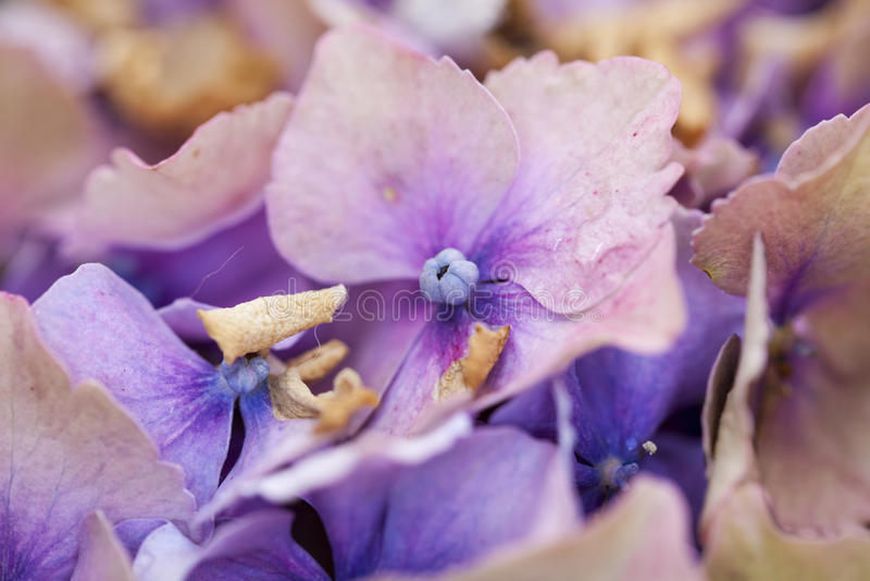 Mooie purpere bloemen van hydrangea hortensia's stock foto