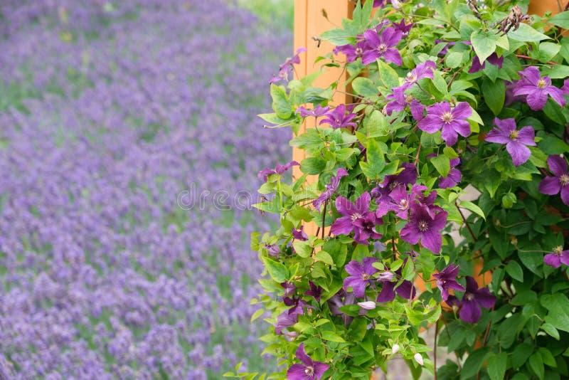 Mooie purpere clematissenbloemen in voorgrond en lavendel op achtergrond stock afbeelding