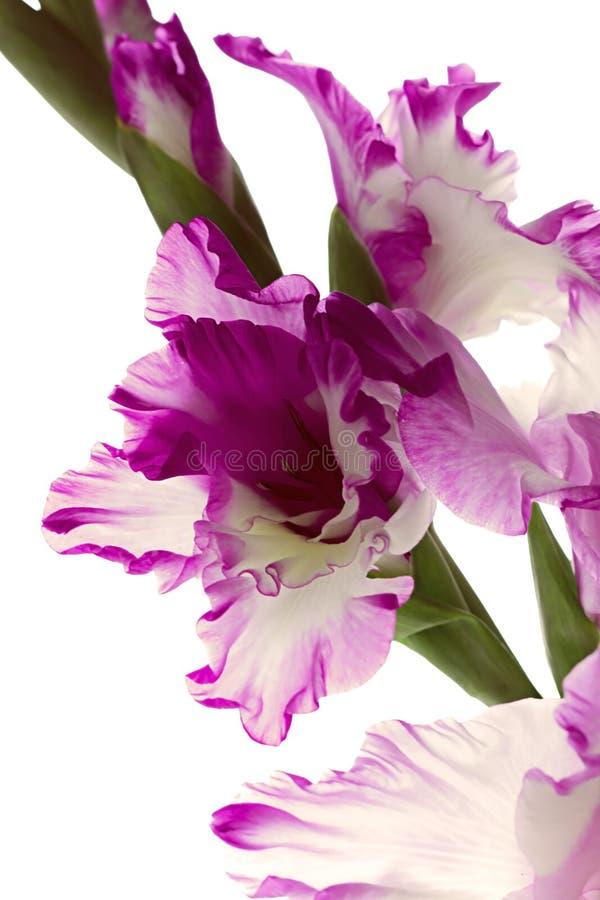 Mooie purpere die gladiolen op witte achtergrond worden geïsoleerd stock foto