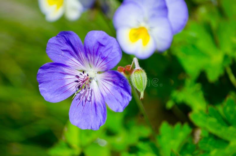 Mooie purpere Geraniumwallichianum ` Rozanne ` in een lentetijd bij een botanische tuin stock afbeeldingen