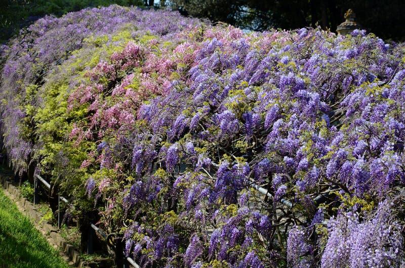 Mooie purpere het bloeien wisteria bij bardinituin in Florence royalty-vrije stock afbeeldingen
