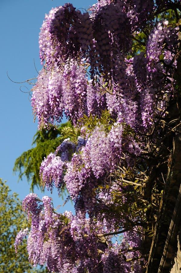 Mooie purpere het bloeien wisteria bij bardinituin in Florence royalty-vrije stock afbeelding