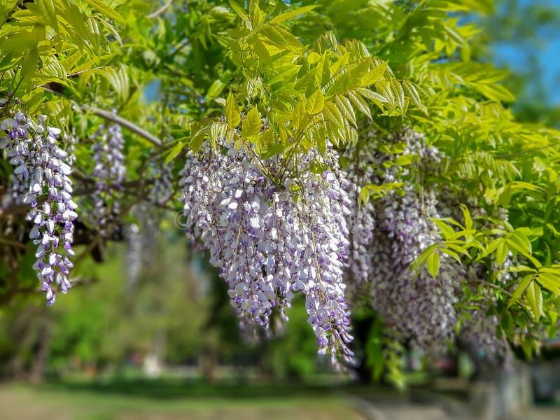 Mooie purpere lilac bloemen die op boom in openlucht hangen stock foto's