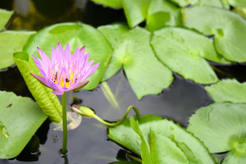Mooie purpere Lotus-bloem met bij en lotusbloem groen blad in I royalty-vrije stock fotografie