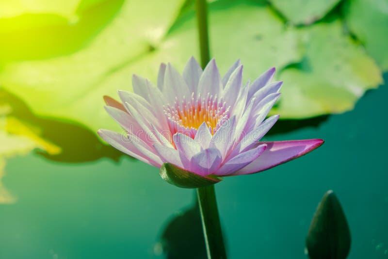 Mooie purpere lotusbloem die in de pool duidelijk uitkomt stock foto's