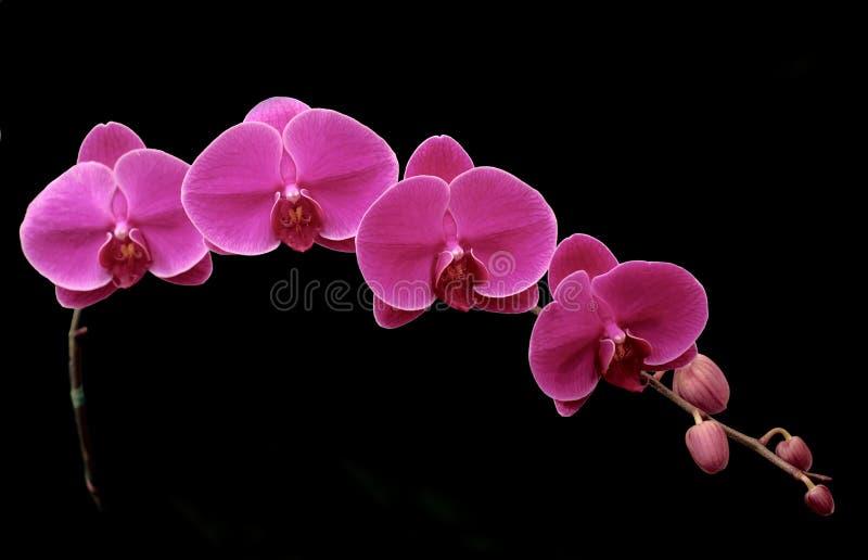 Mooie purpere orhid op zwarte stock fotografie
