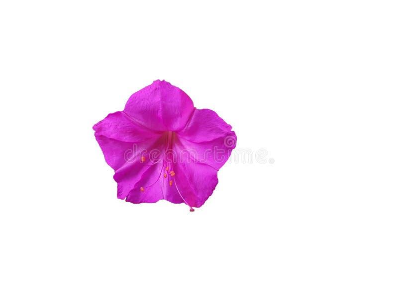 Mooie purpere Petuniabloem royalty-vrije stock afbeelding