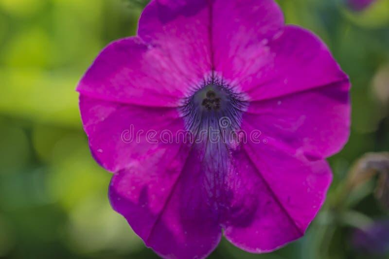 Mooie purpere petuniabloem op zonlicht stock afbeeldingen